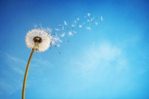 bigstock-Dandelion-with-seeds-blowing-a-64426600